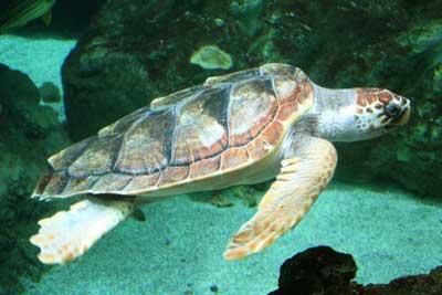 Caretta.jpg.Las tortugas en el Jónico.