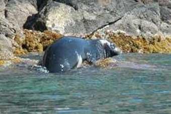 foca-monge.jpg.La foca monge todavia sobrevive en Grecia.